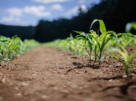 Zwalczanie chwastów w rzepaku to wyższe i zdrowsze plony